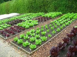 vườn rau trước nhà